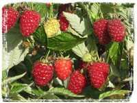 Агротехника выращивания малины садовой, подготовка кустарника к зиме.