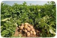 Выращивание картофеля на вашем участке.