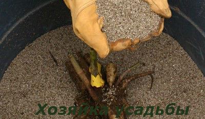 Георгины выращивание и уход1