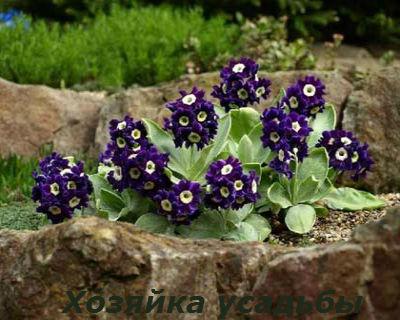 Примула садовая многолетняя4