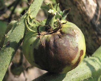 fitoftora-na-pomidorah