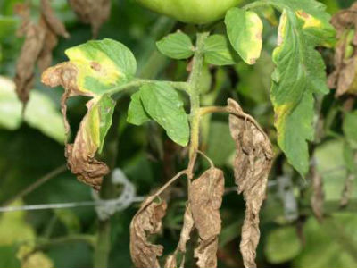 fitoftora-na-pomidorah2