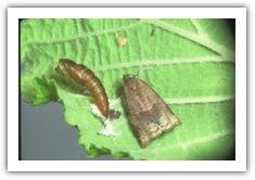 гусеницы листовёртки