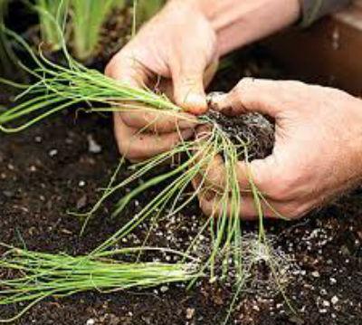 Как вырастить лук порей на участке