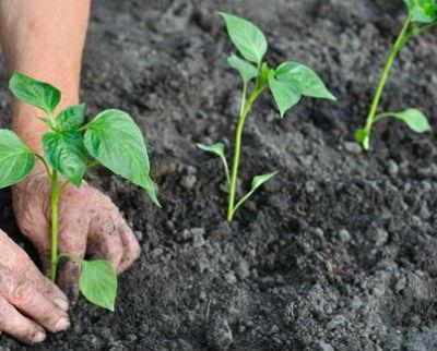 Выращивание перца в открытом грунте, как вырастить перец