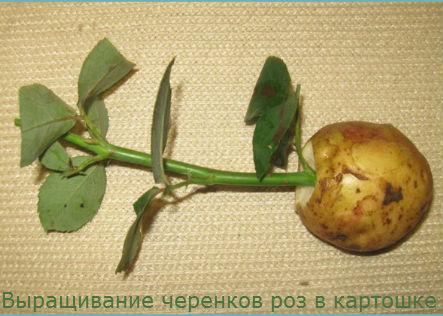 Вырастить розы из стебля