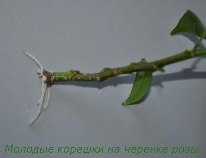Как вырастить розу из черенка3
