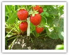 Технология выращивания земляники садовой.