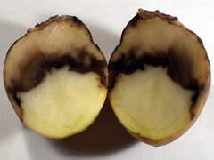 Болезни картофеля при неправильном хранении.