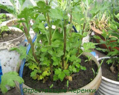 Как черенковать хрзантему1