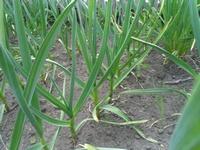 Выращивание озимого чеснока, практика агротехники.