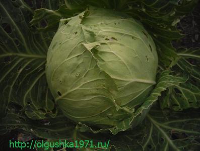 Выращивание капусты белокочанной рассадой.