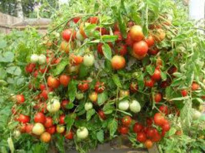 kak-pasynkovat-pomidory2