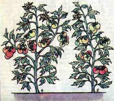 kak-pasynkovat-pomidory3