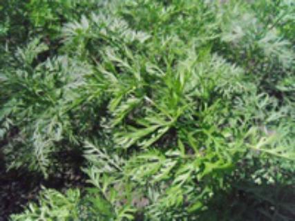 vyrashivanie-morkovi-v-otkrytom-grunte