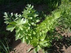 Растение любисток - полезные свойства и выращивание.