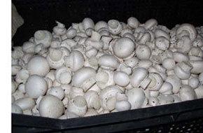 Доходное выращивание шампиньонов в домашних условиях.