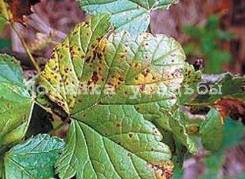 Малина садовая - самые распространённые вредители и болезни.
