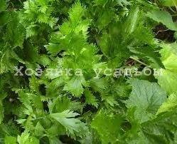Ароматная зелень сельдерей листовой - выращивание.