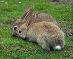 Как определить охоту у самки кролика.