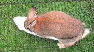 Спаривание кроликов, отбор животных для случки, условия спаривания.