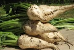 Технология выращивания сахарной свеклы для огородников.