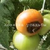 Заболевание вершинная гниль томатов.