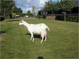 Зааненские козы - разведение, признаки породы.