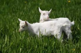 Зааненские козы разведение, признаки породы.