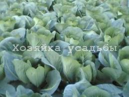 Лучшие поздние сорта белокочанной капусты для Сибири.