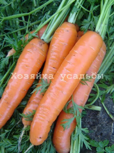 Сорта моркови для Сибири.