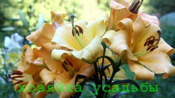 Лилии -посадка и уход в открытом грунте, размножение