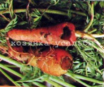 Морковь, болезни и вредители. Профилактика и меры борьбы.