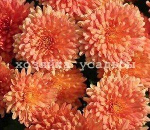 Пересадка хризантем весной и осенью.