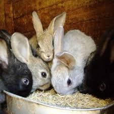 Вздутие живота у кроликов, как лечить?