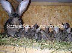 Как определить беременность кроликов.