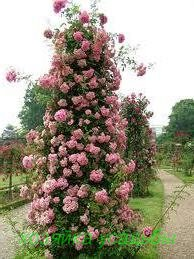 Плетистые розы, какие сорта выбрать.