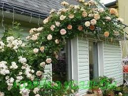 Плетистые розы, популярные сорта.