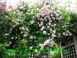 Популярные сорта плетистых роз.