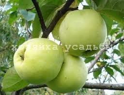 Популярные зимние сорта яблок.