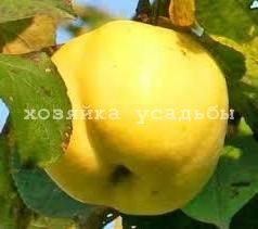 Зимние сорта яблок, наши и зарубежные.