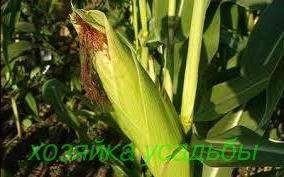 Простая технология выращивания кукурузы.