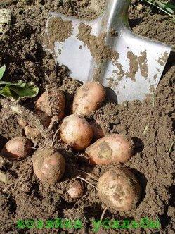 Картофельная нематода и борьба с ней.