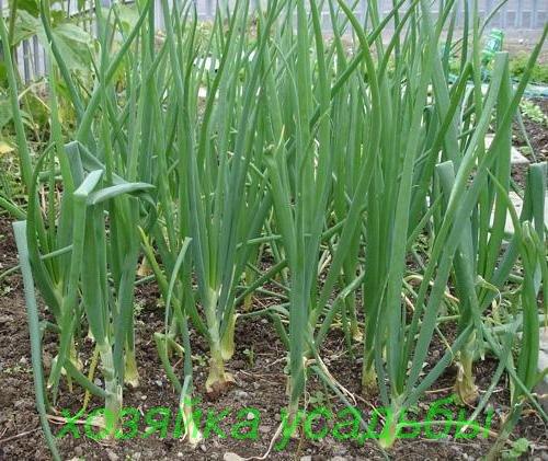 Выращивание лука на перо разными способами.