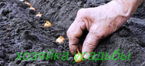 Технология выращивания лука репчатого.