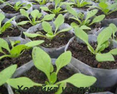 Выращивание петунии из семян в домашних условиях2
