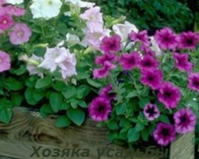 Выращивание петунии из семян в домашних условиях4