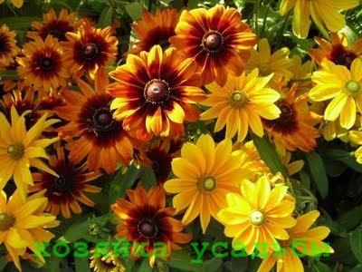 Солнечная рудбекия, посадки и уход за растением.