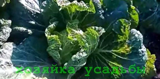 Когда и как сажать пекинскую капусту.