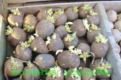 Подготовка клубней картофеля к посадке различными способами.